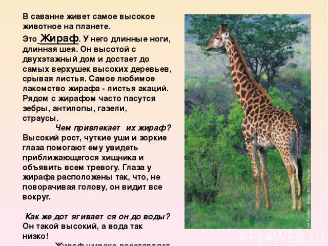 В саванне живет самое высокое животное на планете. ЭтоЖираф.У него длинные ноги, длинная шея. Он высотой с двухэтажный дом и достает до самых верхушек высоких деревьев, срывая листья. Самое любимое лакомство жирафа -листья акаций. Ря…