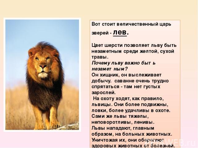 Вот стоит величественный царь зверей -лев. Цвет шерсти позволяет льву быть незаметным среди желтой, сухой травы. Почему льву важно быть незаметным? Он хищник, он выслеживает добычу. саванне очень трудно спрятаться - там нет густых зарослей. На о…