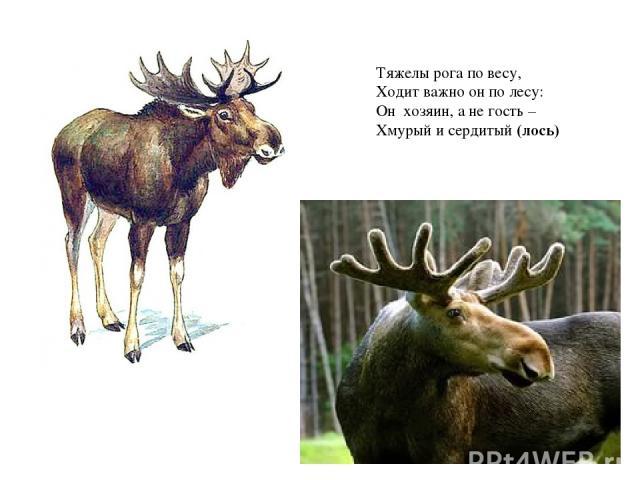 Тяжелы рога по весу, Ходит важно он по лесу: Он хозяин, а не гость – Хмурый и сердитый(лось)