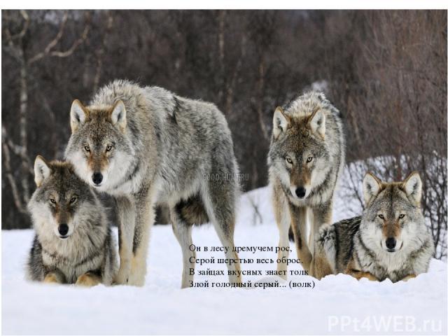 Он в лесу дремучем рос, Серой шерстью весь оброс. В зайцах вкусных знает толк Злой голодный серый... (волк)