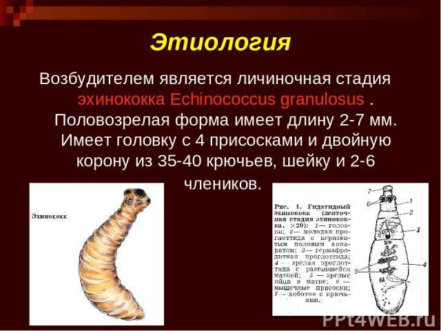 Этиология Возбудителем является личиночная стадияэхинококкаEchinococcus granulosus. Половозрелая форма имеет длину 2-7мм. Имеет головку с 4 присосками и двойную корону из 35-40 крючьев, шейку и 2-6 члеников.