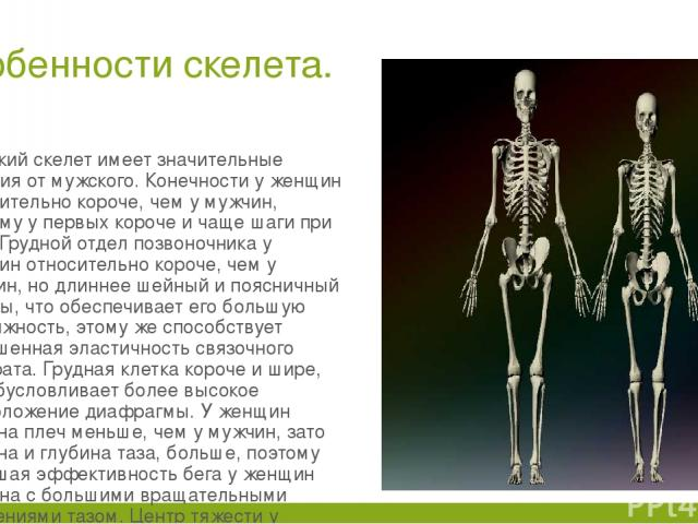 Особенности скелета. Женский скелет имеет значительные отличия от мужского. Конечности у женщин относительно короче, чем у мужчин, поэтому у первых короче и чаще шаги при беге. Грудной отдел позвоночника у женщин относительно короче, чем у мужчин, н…