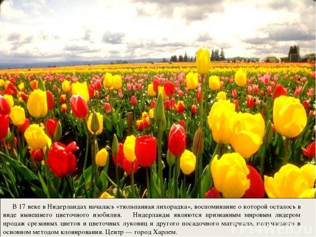 В 17 веке в Нидерландах началась «тюльпанная лихорадка», воспоминание о которой осталось в виде нынешнего цветочного изобилия. Нидерланды являются признанным мировым лидером продаж срезанных цветов и цветочных луковиц и другого посадочного материала…
