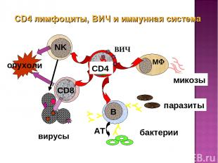CD4 лимфоциты, ВИЧ и иммунная система ВИЧ