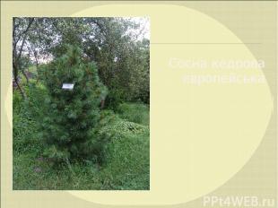 Сосна кедрова європейська
