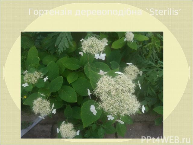 Гортензія деревоподібна `Sterilis'