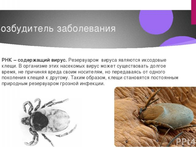 Возбудитель заболевания РНК – содержащий вирус. Резервуаром вируса являются иксодовые клещи. В организме этих насекомых вирус может существовать долгое время, не причиняя вреда своим носителям, но передаваясь от одного поколения клещей к другому. Та…