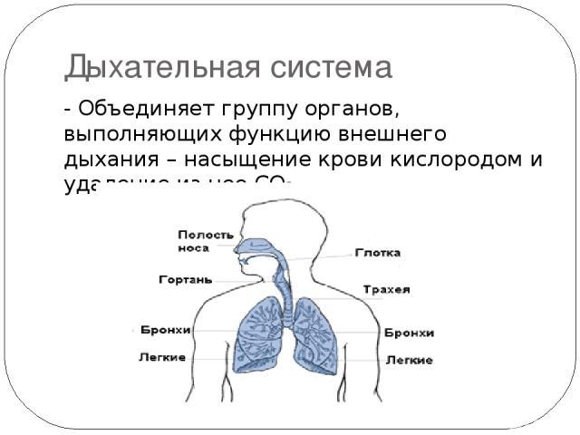 Дыхательная система - Объединяет группу органов, выполняющих функцию внешнего дыхания – насыщение крови кислородом и удаление из нее СО2.