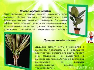 Фикус каучуконосный Это растение, которое может выживать при гораздо более низки
