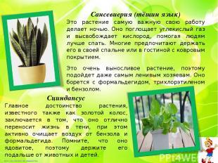 Сансевиерия (тёщин язык) Это растение самую важную свою работу делает ночью. Оно