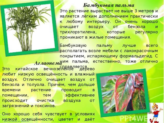 Бамбуковая пальма Это растение вырастает не выше 3 метров и является лёгким дополнением практически к любому интерьеру. Он очень хорошо очищает воздух от бензола и трихлорэтилена, которые регулярно проникают в жилые помещения. Бамбуковую пальму лучш…