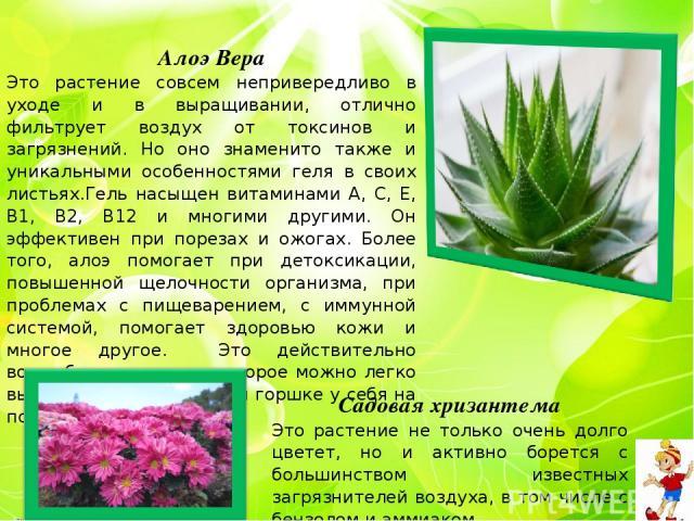 Алоэ Вера Это растение совсем непривередливо в уходе и в выращивании, отлично фильтрует воздух от токсинов и загрязнений. Но оно знаменито также и уникальными особенностями геля в своих листьях.Гель насыщен витаминами А, С, Е, В1, В2, В12 и многими …