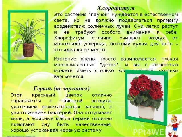 Хлорофитум Это растение