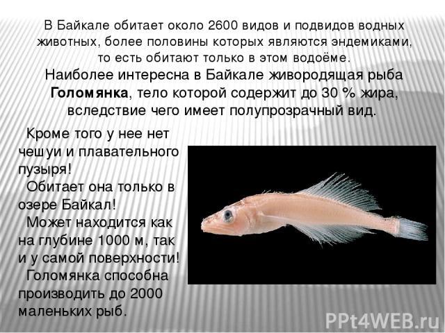 В Байкале обитает около 2600 видов и подвидов водных животных, более половины которых являются эндемиками, то есть обитают только в этом водоёме. Наиболее интересна в Байкале живородящая рыба Голомянка, тело которой содержит до 30 % жира, вследствие…