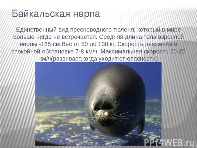 Байкальская нерпа Единственный вид пресноводного тюленя, который в мире больше нигде не встречается. Средняя длина тела взрослой нерпы -165 см.Вес от 50 до 130 кг. Скорость движения в спокойной обстановке 7-8 км/ч. Максимальная скорость 20-25 км/ч(р…