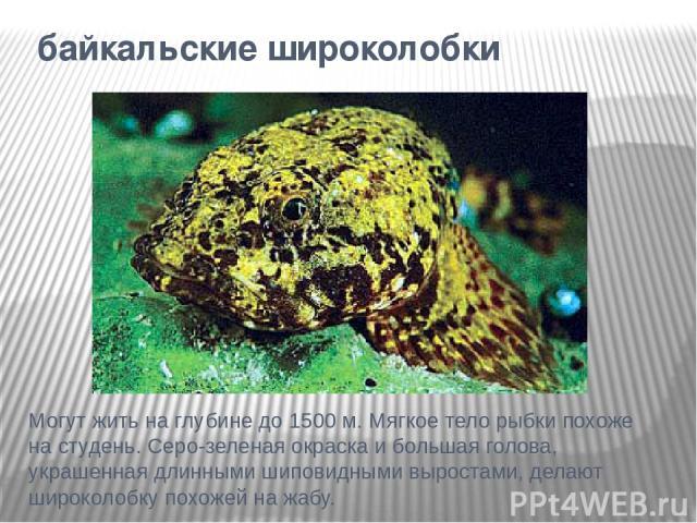 байкальские широколобки Могут жить на глубине до 1500 м. Мягкое тело рыбки похоже на студень. Серо-зеленая окраска и большая голова, украшенная длинными шиповидными выростами, делают широколобку похожей на жабу.