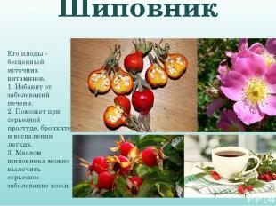 Шиповник Его плоды - бесценный источник витаминов. 1. Избавит от заболеваний печ