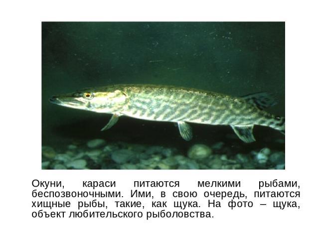 Окуни, караси питаются мелкими рыбами, беспозвоночными. Ими, в свою очередь, питаются хищные рыбы, такие, как щука. На фото – щука, объект любительского рыболовства.