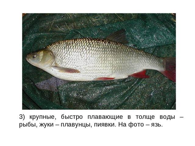 3) крупные, быстро плавающие в толще воды – рыбы, жуки – плавунцы, пиявки. На фото – язь.