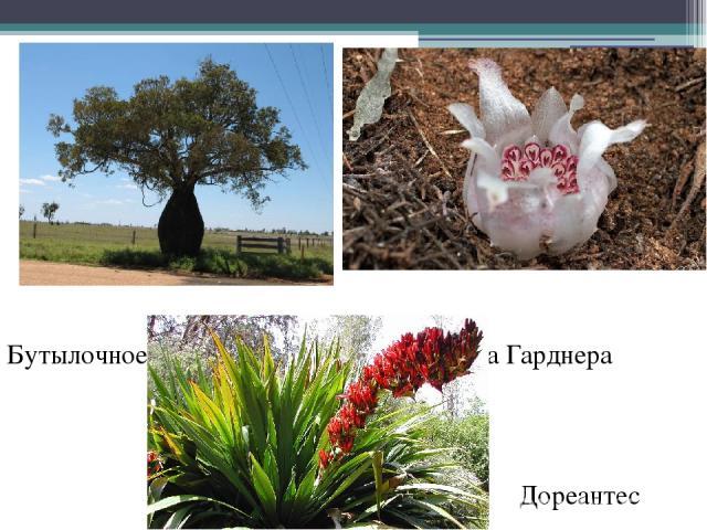 Бутылочное дерево Ризантелла Гарднера Дореантес