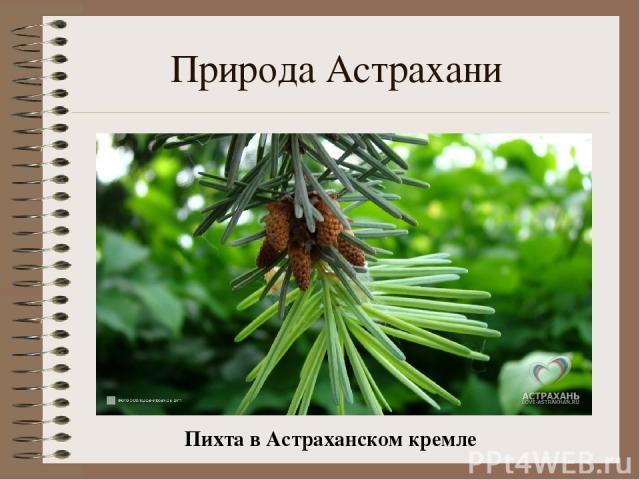 Природа Астрахани Пихта в Астраханском кремле