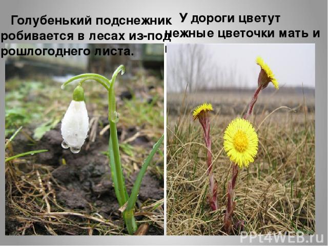 Голубенький подснежник пробивается в лесах из-под прошлогоднего листа. У дороги цветут нежные цветочки мать и мачехи.