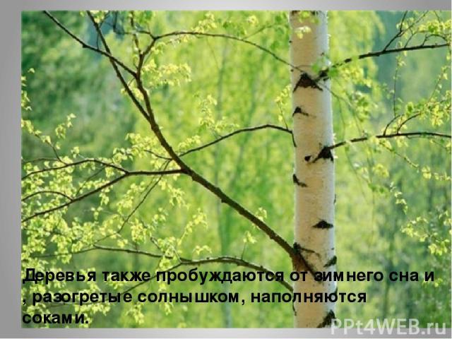 Деревья также пробуждаются от зимнего сна и , разогретые солнышком, наполняются соками.