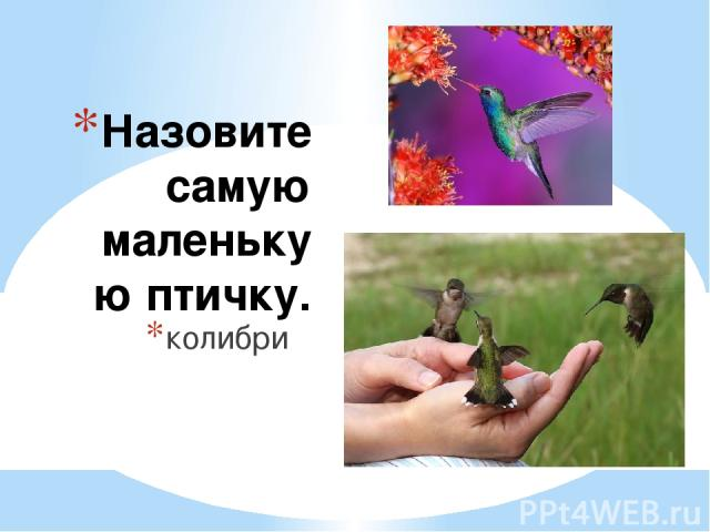Назовите самую маленькую птичку. колибри