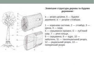 Зовнішня структура дерева та будова деревини: а — розріз дерева; б — будова дере
