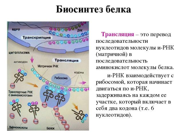 Биосинтез белка Трансляция – это перевод последовательности нуклеотидов молекулы и-РНК (матричной) в последовательность аминокислот молекулы белка. и-РНК взаимодействует с рибосомой, которая начинает двигаться по и-РНК, задерживаясь на каждом ее уча…