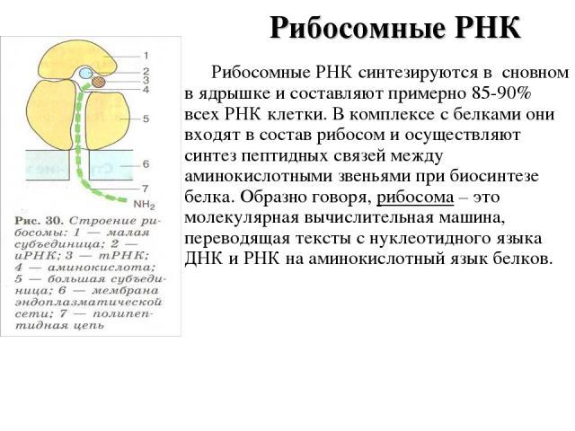 Рибосомные РНК Рибосомные РНК синтезируются в сновном в ядрышке и составляют примерно 85-90% всех РНК клетки. В комплексе с белками они входят в состав рибосом и осуществляют синтез пептидных связей между аминокислотными звеньями при биосинтезе белк…