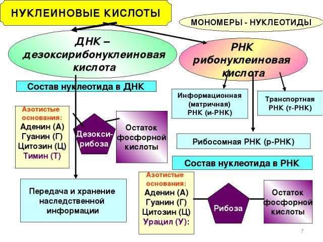 * НУКЛЕИНОВЫЕ КИСЛОТЫ МОНОМЕРЫ - НУКЛЕОТИДЫ ДНК – дезоксирибонуклеиновая кислота РНК рибонуклеиновая кислота Состав нуклеотида в ДНК Состав нуклеотида в РНК Азотистые основания: Аденин (А) Гуанин (Г) Цитозин (Ц) Урацил (У): Рибоза Остаток фосфорной …