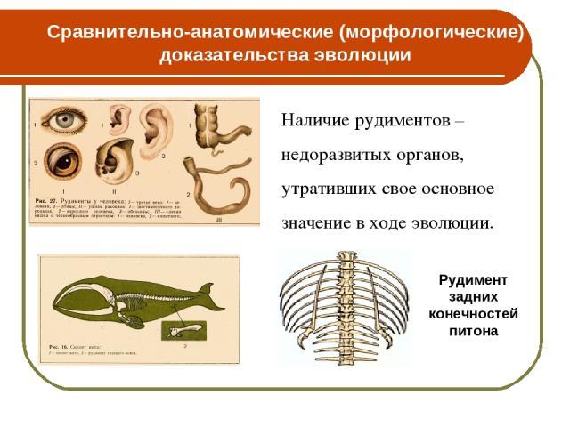 Наличие рудиментов – недоразвитых органов, утративших свое основное значение в ходе эволюции. Рудимент задних конечностей питона Сравнительно-анатомические (морфологические) доказательства эволюции