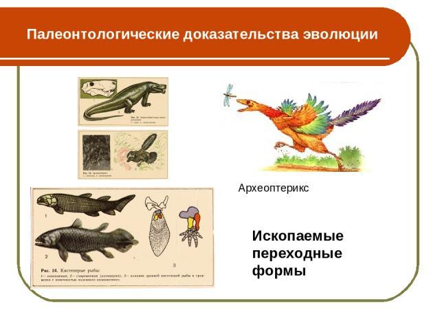 Палеонтологические доказательства эволюции Археоптерикс Ископаемые переходные формы