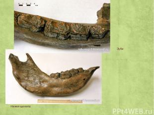 Нижня щелепа Зуби