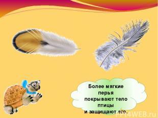 Более мягкие перья покрывают тело птицы изащищают его.