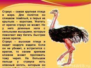 Страус – самая крупная птица в мире. Для полётов он слишком тяжёлый, а перья на