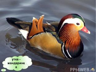 утка - мандаринка