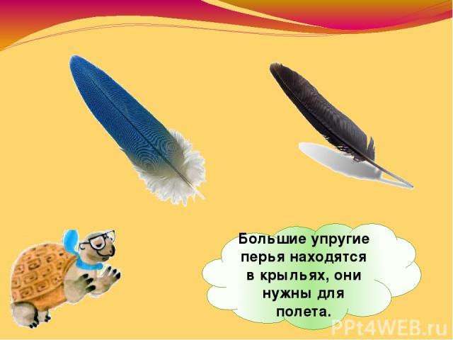 Большие упругие перья находятся вкрыльях, они нужны для полета.