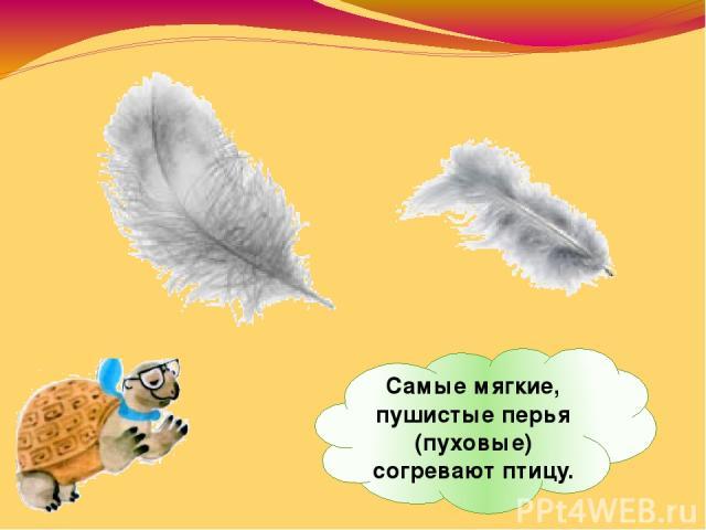 Самые мягкие, пушистые перья (пуховые) согревают птицу.