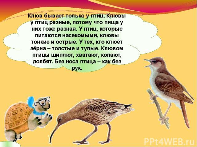 Клюв бывает только у птиц. Клювы у птиц разные, потому что пища у них тоже разная. У птиц, которые питаются насекомыми, клювы тонкие и острые. У тех, кто клюёт зёрна – толстые и тупые. Клювом птицы щиплют, хватают, копают, долбят. Без носа птица – к…