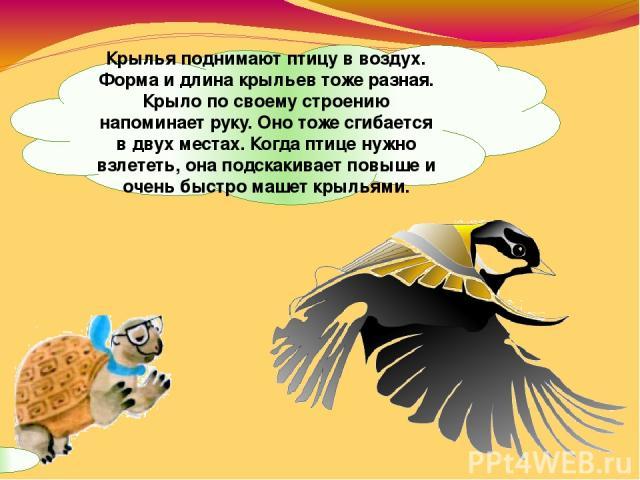 Крылья поднимают птицу в воздух. Форма и длина крыльев тоже разная. Крыло по своему строению напоминает руку. Оно тоже сгибается в двух местах. Когда птице нужно взлететь, она подскакивает повыше и очень быстро машет крыльями.