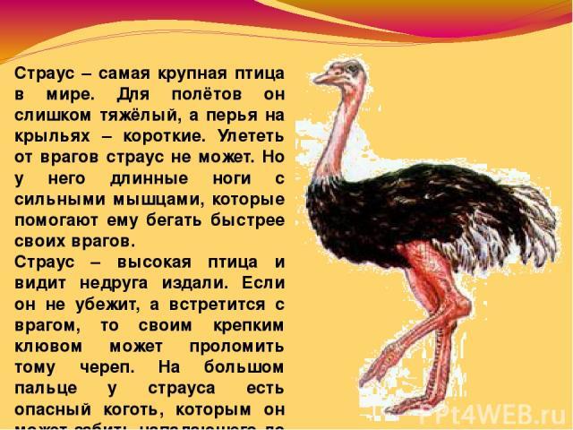 Страус – самая крупная птица в мире. Для полётов он слишком тяжёлый, а перья на крыльях – короткие. Улететь от врагов страус не может. Но у него длинные ноги с сильными мышцами, которые помогают ему бегать быстрее своих врагов. Страус – высокая птиц…