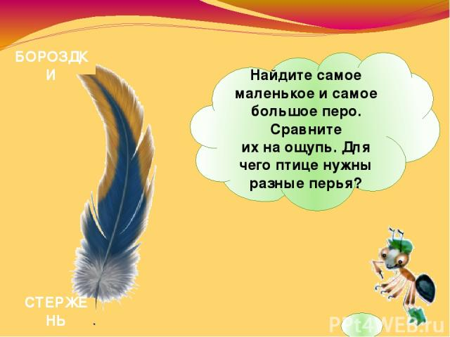 СТЕРЖЕНЬ БОРОЗДКИ Найдите самое маленькое исамое большое перо. Сравните ихнаощупь. Для чего птице нужны разные перья?