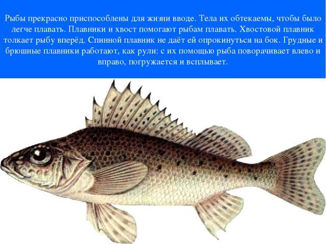 Рыбы прекрасно приспособлены для жизни вводе. Тела их обтекаемы, чтобы было легче плавать. Плавники и хвост помогают рыбам плавать. Хвостовой плавник толкает рыбу вперёд. Спинной плавник не даёт ей опрокинуться на бок. Грудные и брюшные плавники раб…