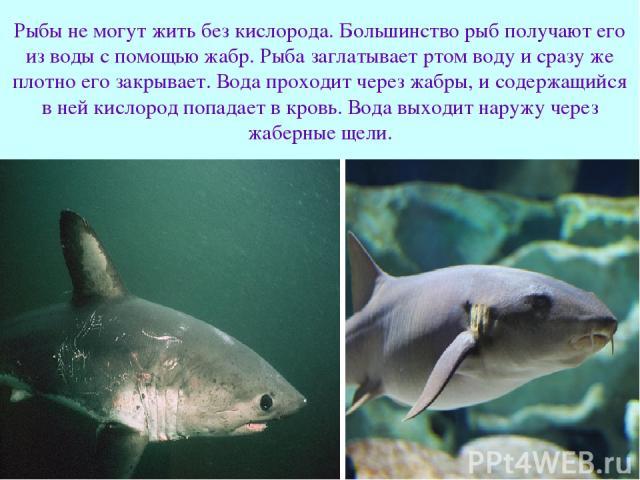 Рыбы не могут жить без кислорода. Большинство рыб получают его из воды с помощью жабр. Рыба заглатывает ртом воду и сразу же плотно его закрывает. Вода проходит через жабры, и содержащийся в ней кислород попадает в кровь. Вода выходит наружу через ж…