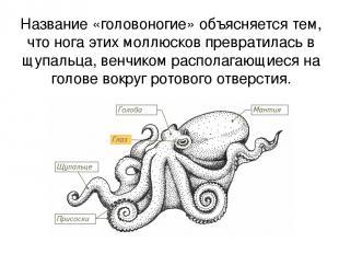 Название «головоногие» объясняется тем, что нога этих моллюсков превратилась в щ