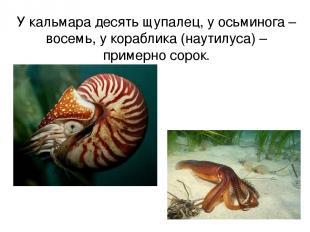 У кальмара десять щупалец, у осьминога – восемь, у кораблика (наутилуса) – приме