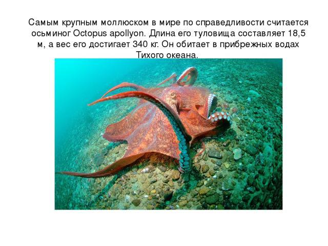 Самым крупным моллюском в мире по справедливости считается осьминог Octopus apollyon. Длина его туловища составляет 18,5 м, а вес его достигает 340 кг. Он обитает в прибрежных водах Тихого океана.