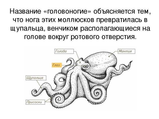 Название «головоногие» объясняется тем, что нога этих моллюсков превратилась в щупальца, венчиком располагающиеся на голове вокруг ротового отверстия.